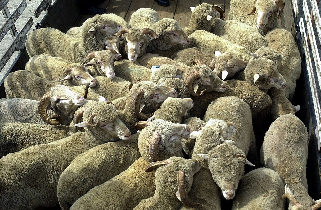 More than half of this year's livestock for Korban sold