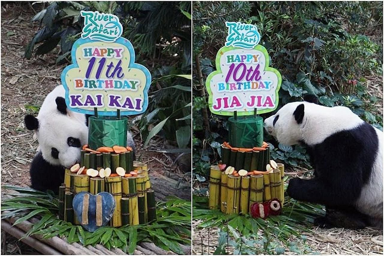 Pasangan panda Kai Kai, Jia Jia sambut ulang tahun di River Safari