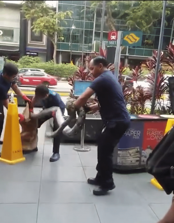 Pest control workers didn't mishandle 3m-long python in Orchard Road: AVA