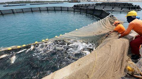 Ternakan ikan siakap naik tiga kali ganda