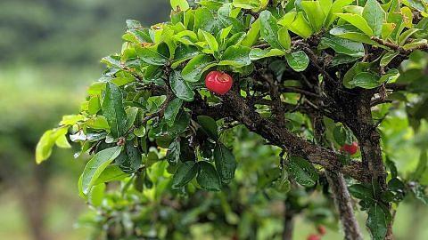 Di Bawah Pokok Ceri