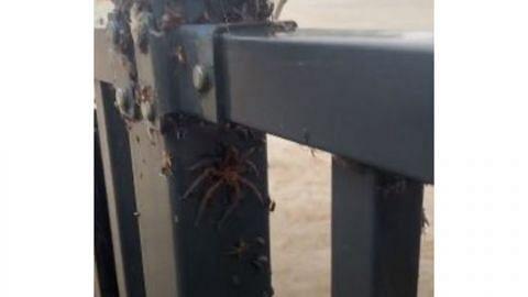 Australia dilanda lambakan labah-labah berbisa sejurus bah