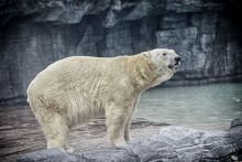 Inuka the last polar bear of Singapore died on 25 April 2018. Her skeletal remains will be preserved.
