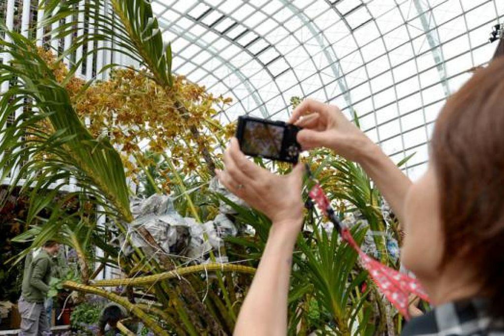 SPESIES TERBESAR: Seorang wanita mengambil foto Orkid Harimau yang disertakan dalam peraduan orkid yang diadakan sempena Pesta Taman Singapura. - Foto TUKIMAN WARJI