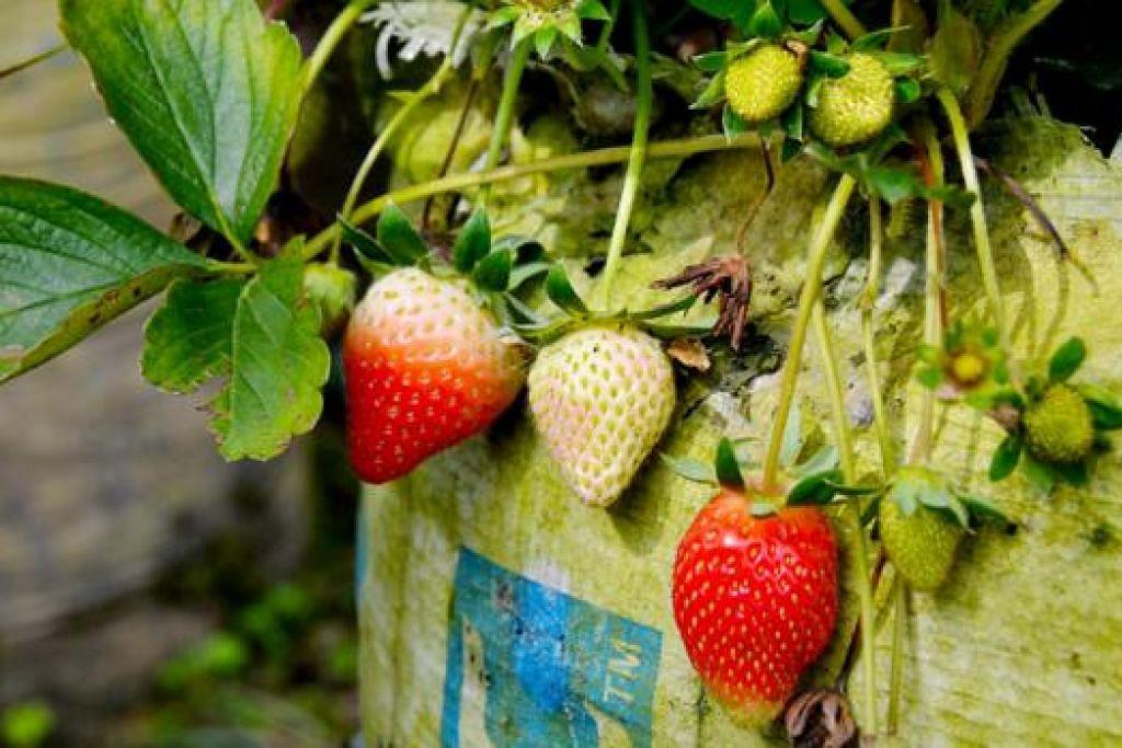 MENGGERAMKAN: Buah strawberi di ladang strawberi yang banyak terdapat di sekitar Bandung. Usah lupa mencubanya.