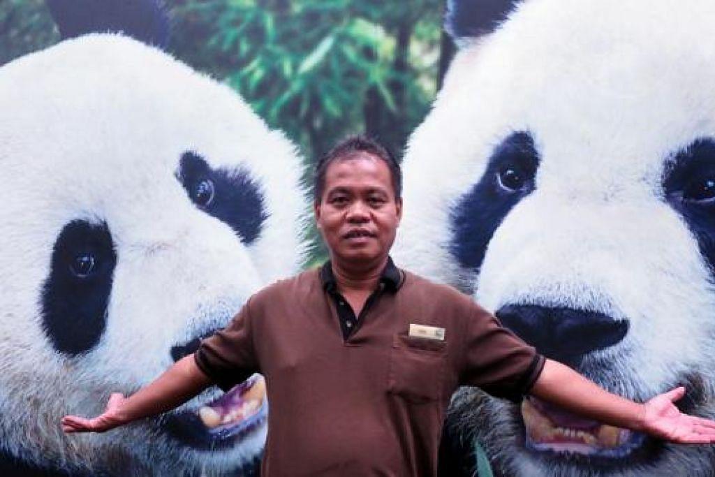 ADA MISI: Penolong kurator River Safari, Encik Abdul Halim Mohd Ali, berharap dua panda jagaannya - Kai Kai (kanan), jantan dan Jia-Jia (kiri) betina - dapat mengawan dalam musim 'bersatu' beruang panda yang berlangsung hanya seminggu dalam setahun, biasanya dari bulan April. - Foto-foto JOHARI RAHMAT