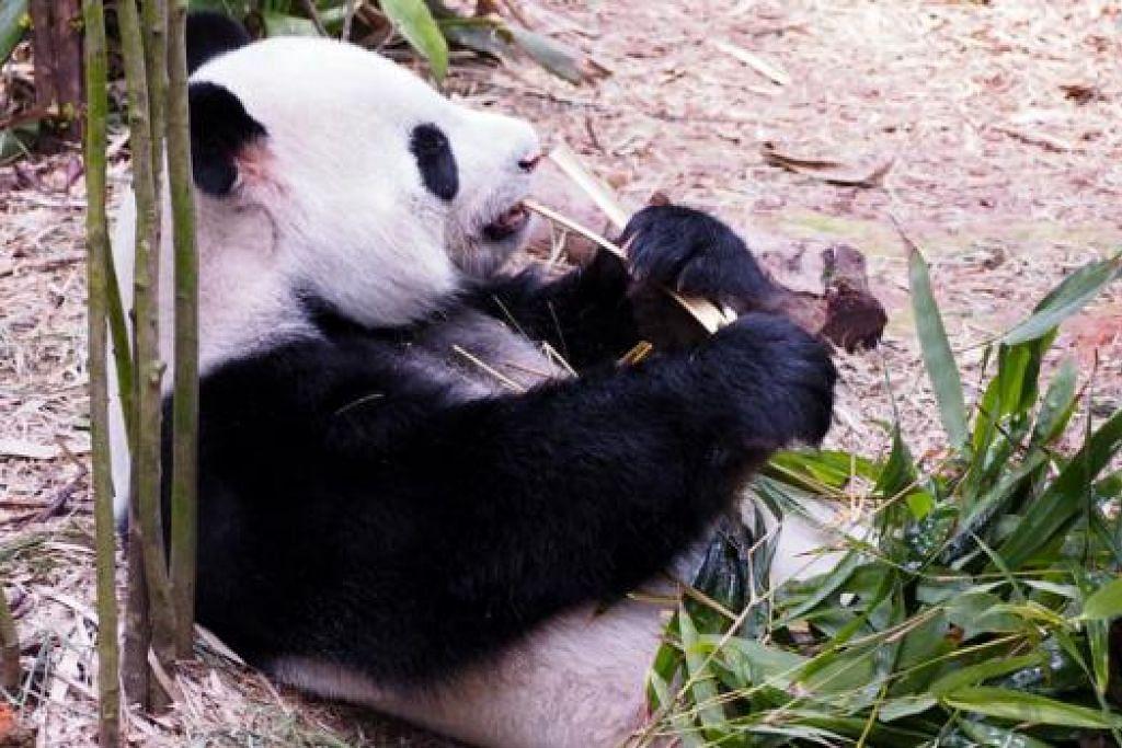 DIET PERLU DIJAGA: Makan 30 kilogram buluh, 400 gram lobak, 200 gram epal dan biskut berserat tinggi setiap hari adalah diet panda seperti Kai Kai (gambar).
