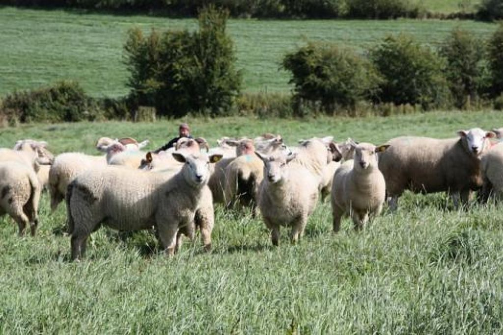 LEBIH MAHAL TAPI LEBIH SEDAP: Harga kambing biri-biri dari Ireland $76 lebih tinggi berbanding kambing biri-biri dari Australia namun ia masih rancak dibeli orang ramai. - Foto MINI ENVIRONMENT SERVICE PTE LTD