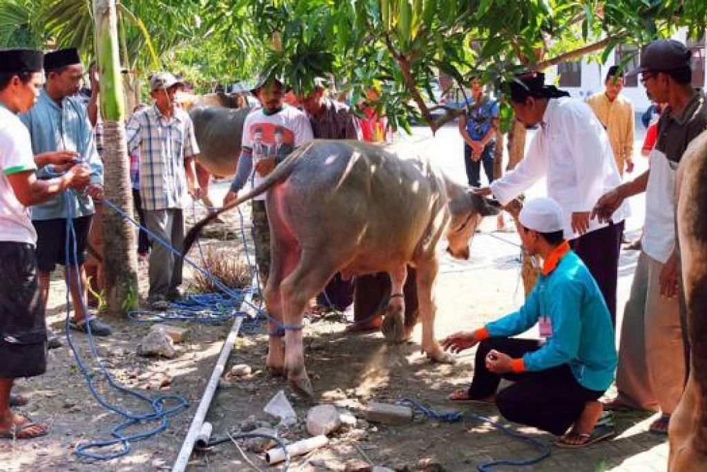 SIAP UNTUK DISEMBELIH: Para sukarelawan yang disertai pemimpin Pondo Pesantren Roudlotus Saidiyyah, Kiai Said (memegang kepala lembu), membuat persiapan untuk menarik lembu untuk dikorbankan. - FOTO: KHALID BABA