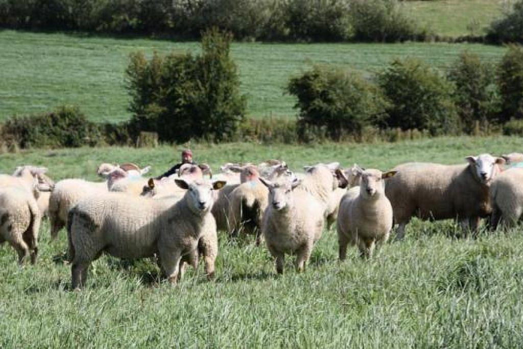 KAMBING IRELAND: Kambing-kambing dari Ireland ini diimport oleh Mini Environment Service Pte Ltd untuk ibadah korban. - Foto MINI ENVIRONMENT SERVICE PTE LTD