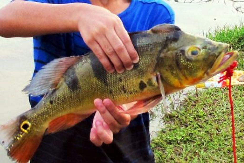 Ikan Peacock Bass - Foto SAINI SALLEH