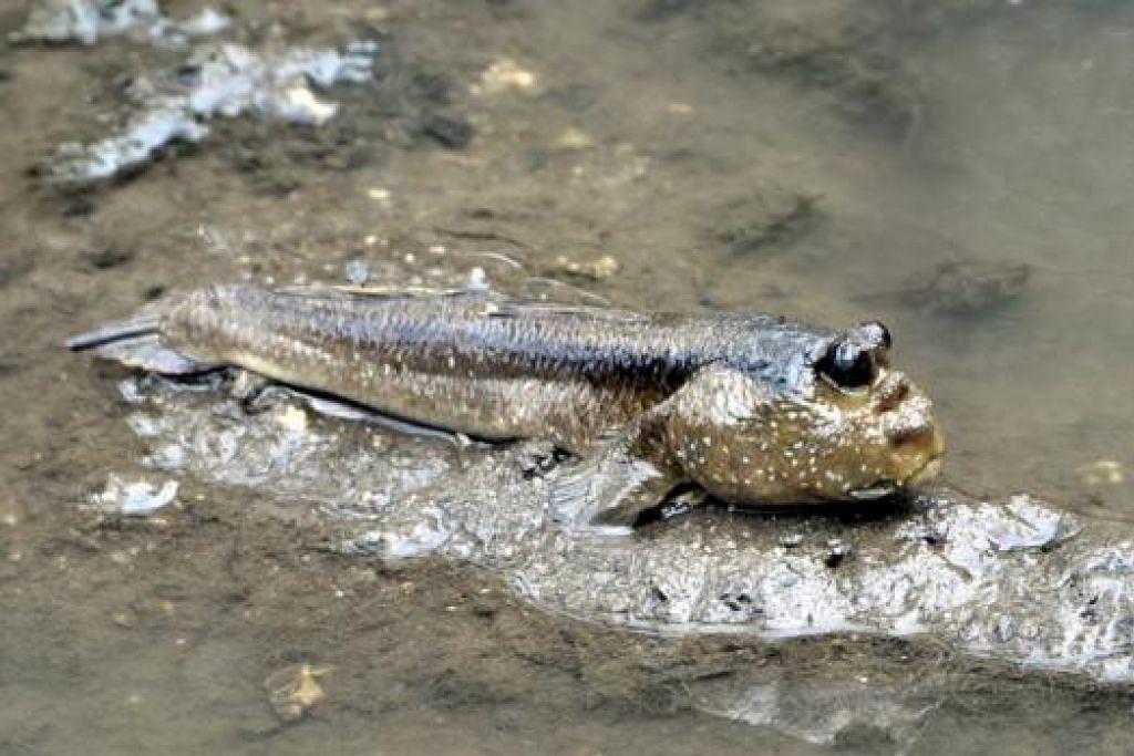 Ikan belacak atau mudskipper. - Foto NATIONAL PARKS