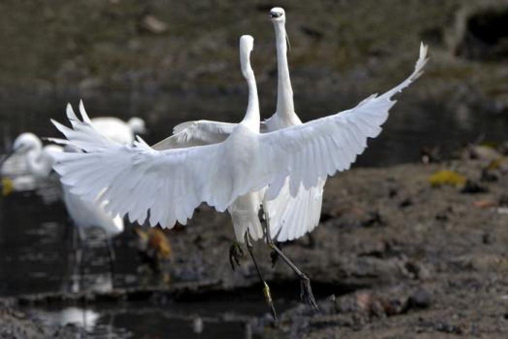 Antara burung yang boleh dilihat di Paya Simpanan Sungei Buloh ialah burung egret.- Foto NATIONAL PARKS