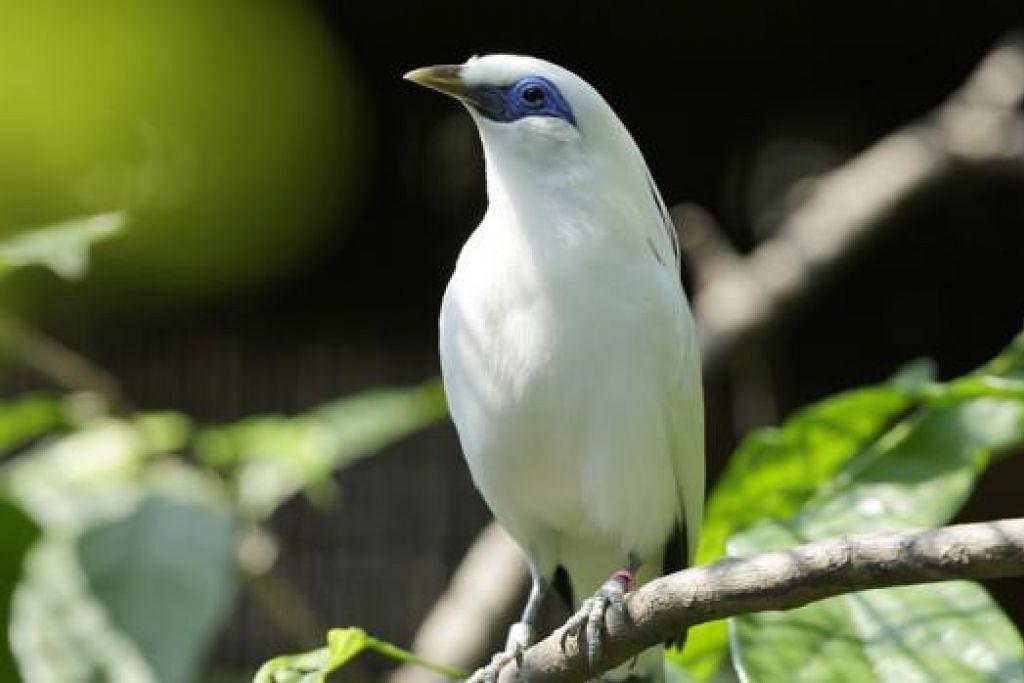 BURUNG TERANCAM: Burung Bali Mynah, salah satu spesies burung terancam di Asia, boleh didapati di lau burung terbaru, Wings of Asia, di Taman Burung Jurong. - Foto TUKIMAN WARJI