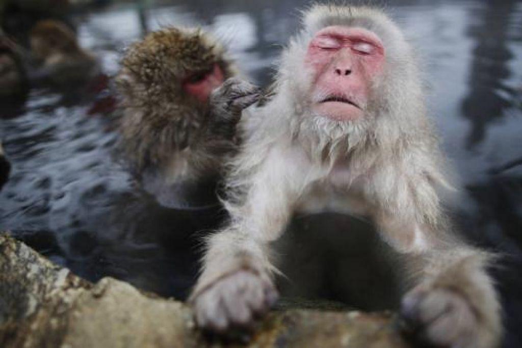MONYET BERENDAM: Japanese macaque atau snow monkey, yang dilihat penulis, suka berendam dalam air panas di Taman Monyet Jigokudani, Nagano, utara Osaka. Pas masuk ialah 500 yen ($5.75). - Foto REUTERS