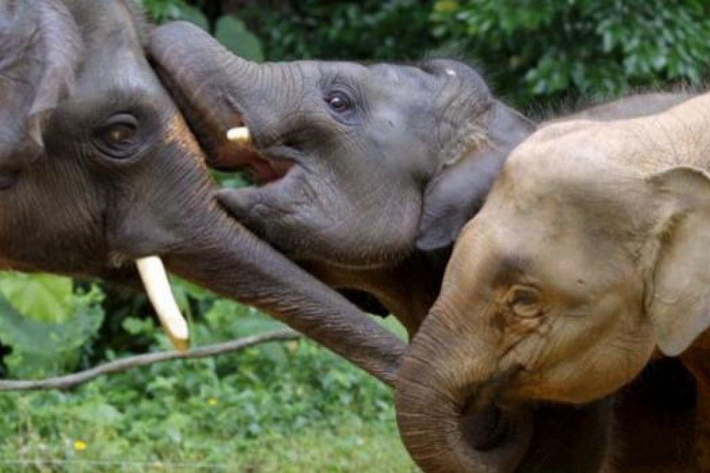 DAPAT RUMAH: Anak-anak gajah di Tanzania, Afrika, yang kehilangan ibu bapa akibat pemburuan terlarang, akan diberi perlindungan khas lengkap dengan katil. - Foto REUTERS