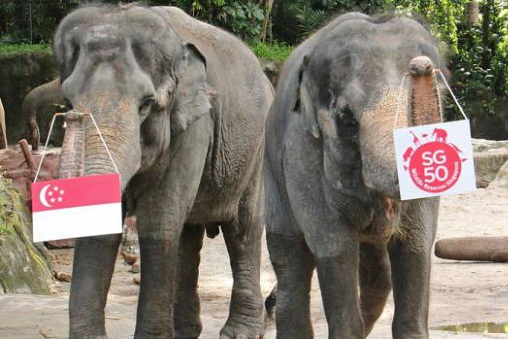 BERI 'PENGHORMATAN' KEPADA NEGARA: Jati dan Gambir, gajah betina Singapura, menaikkan bendera Singapura dan logo SG50 menggunakan belalai mereka sebagai tanda penghormatan kepada negara. - Foto TAMAN HAIWAN SINGAPURA