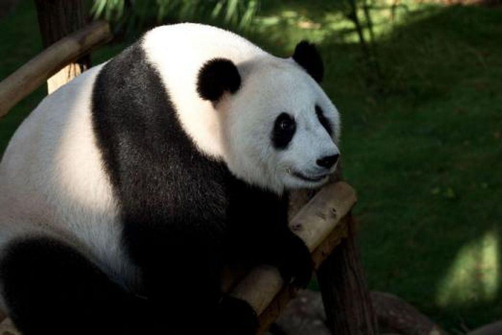 SELAMAT LAHIRKAN ANAK: Gambar fail panda bernama Liang Liang yang selamat melahirkan seekor anak panda di Zoo Negara kelmarin. - Foto AFP