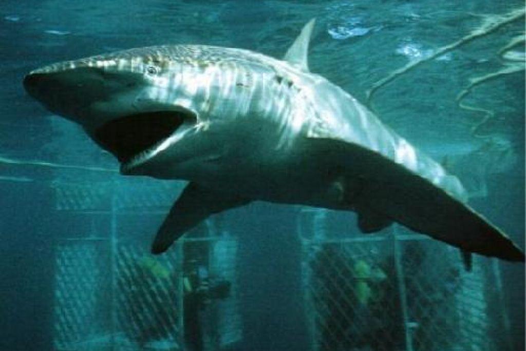 Ikan jerung jenis bronze whaler