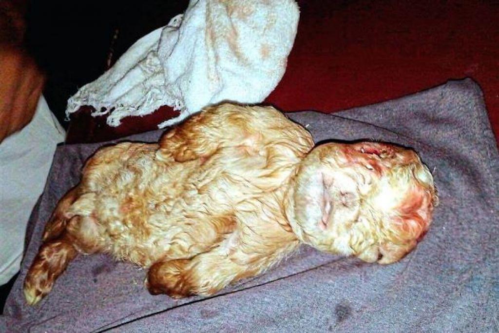 SATU KELAINAN: Anak kambing ini dilahirkan dalam keadaan berbeza,  ia tidak mempunyai tali pusat seperti kambing lain yang baharu dilahirkan. Ia juga kelihatan berhidung pesek, bermulut lintang dan berkaki pendek. - Foto mSTAR ONLINE