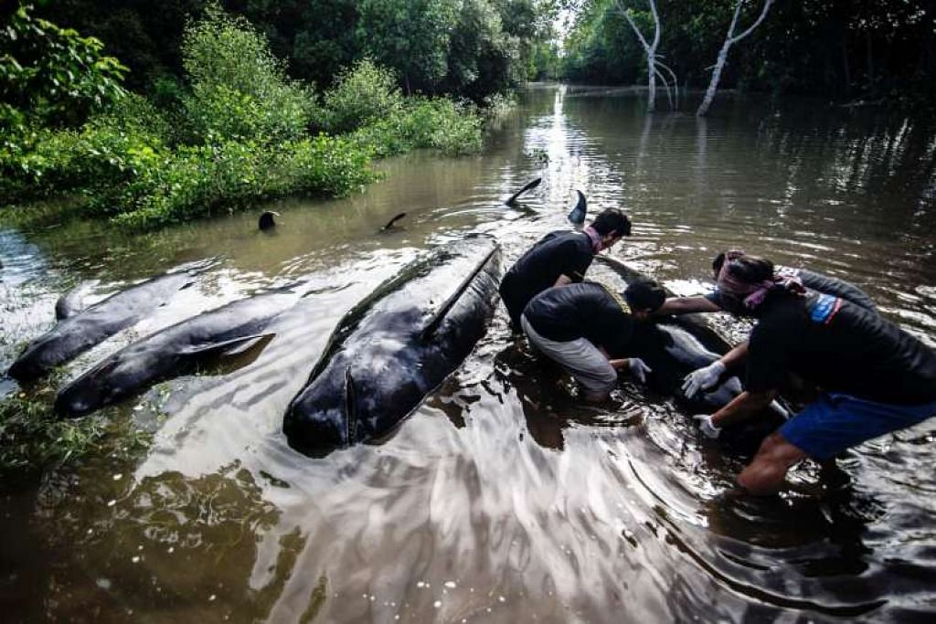Aktivis alam sekitar Indonesia cuba membantu sekumpulan ikan paus pandu yang terdampar ketika air pasang tinggi di Probolinggo, Jawa Timur pada 16 Jun 2016.