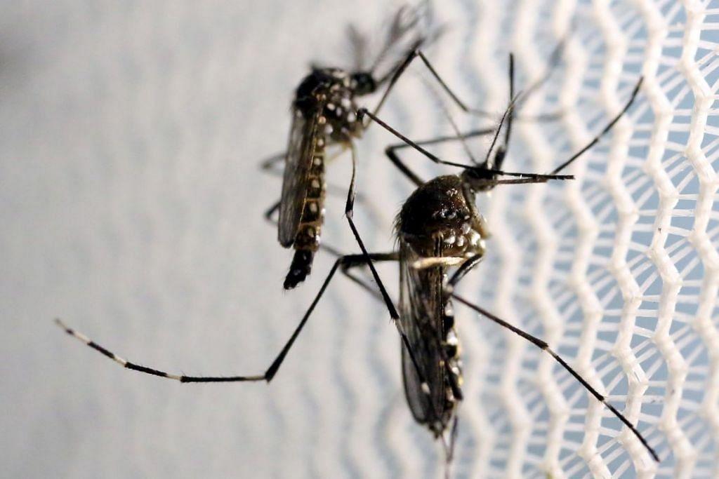 Nyamuk Aedes aegypti, pembawa virus yang menyebabkan penyakit demam denggi.