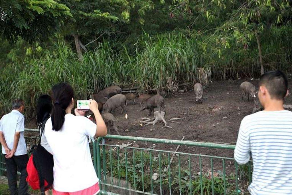 Sebuah video  yang disiarkan oleh seorang pengguna di Facebook kumpulan Love Cycling SG, menunjukkan kira-kira 10 babi hutan pelbagai saiz di sebuah kawasan tandus berlumpur dekat Jeti Halus Lorong di Pasir Ris. Seorang wanita juga dilihat mengeluarkan kandungan beberapa beg plastik yang kemudian dimakan haiwan tersebut.