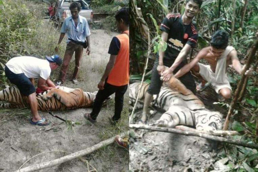Jabatan Hidupan Liar dan Taman Negara (Perhilitan) Malaysia sedang menyiasat imej beberapa orang bergambar di sisi bangkai seekor harimau, yang tersebar luas di laman sosial media.