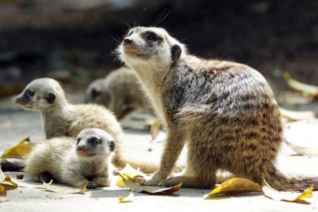 ANTARA YANG DILAHIRKAN TAHUN LALU: Tiga meerkat merupakan antara haiwan yang dilahirkan di Taman Haiwan Singapura April lalu. - Foto WILDLIFE RESERVES SINGAPORE