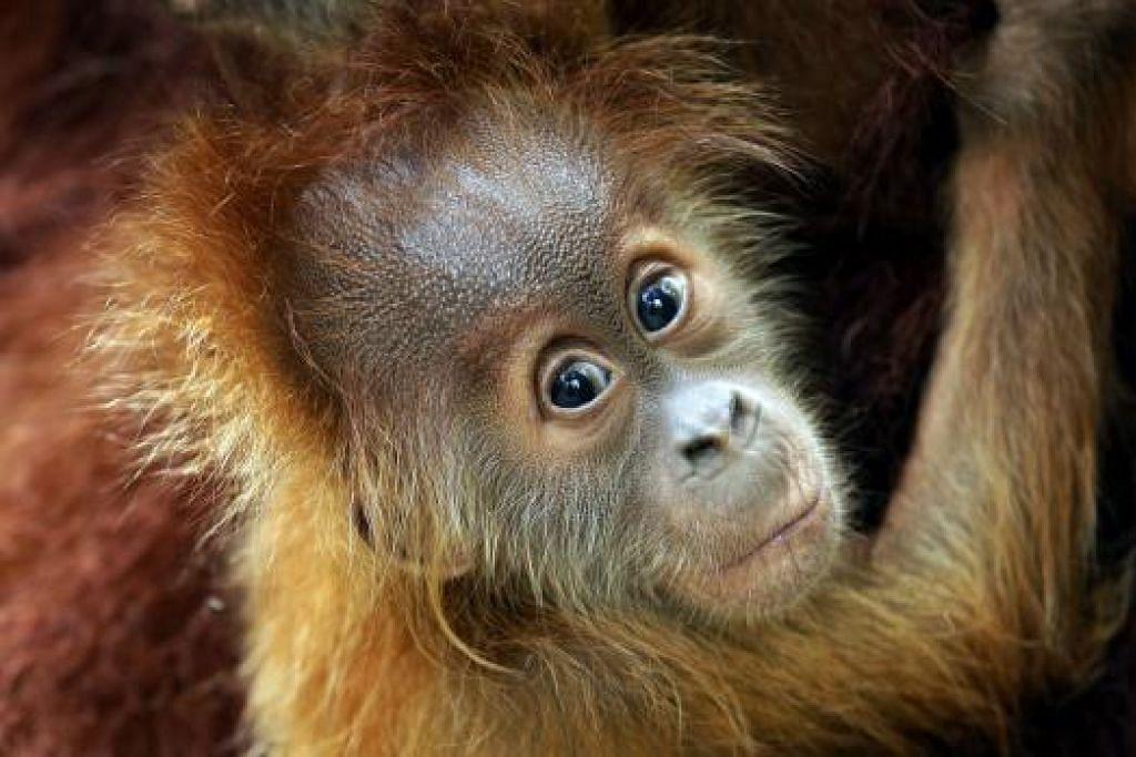 IKON CILIK TAMAN HAIWAN SINGAPURA: Anak orang utan Sumatera ini adalah antara haiwan yang menghadapi ancaman pupus. Ia merupakan cicit bekas ikon Taman Haiwan Singapura, Ah Meng, yang mati pada 2008.