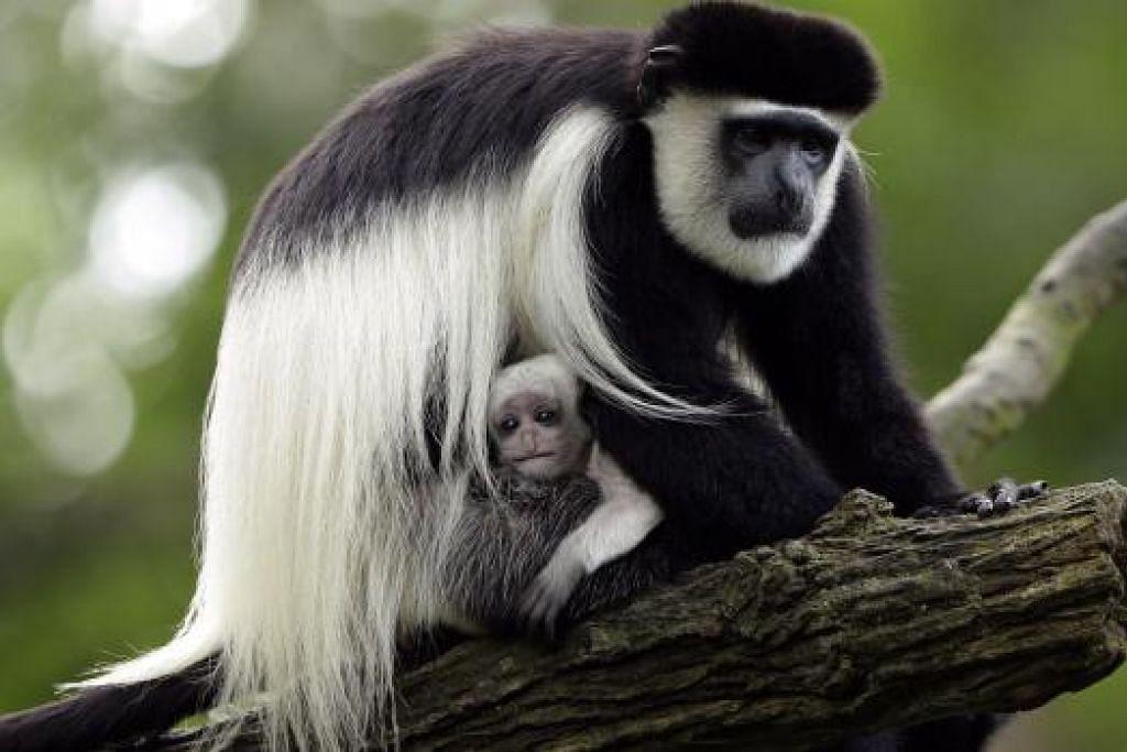 MONYET COLOBUS: Begitulah nama yang diberikan bagi spesies monyet ini. Haiwan ini dilahirkan putih sepenuhnya namun apabila sudah berusia setengah tahun, warna bulunya akan berubah. - Foto-Foto WILDLIFE RESERVES SINGAPORE