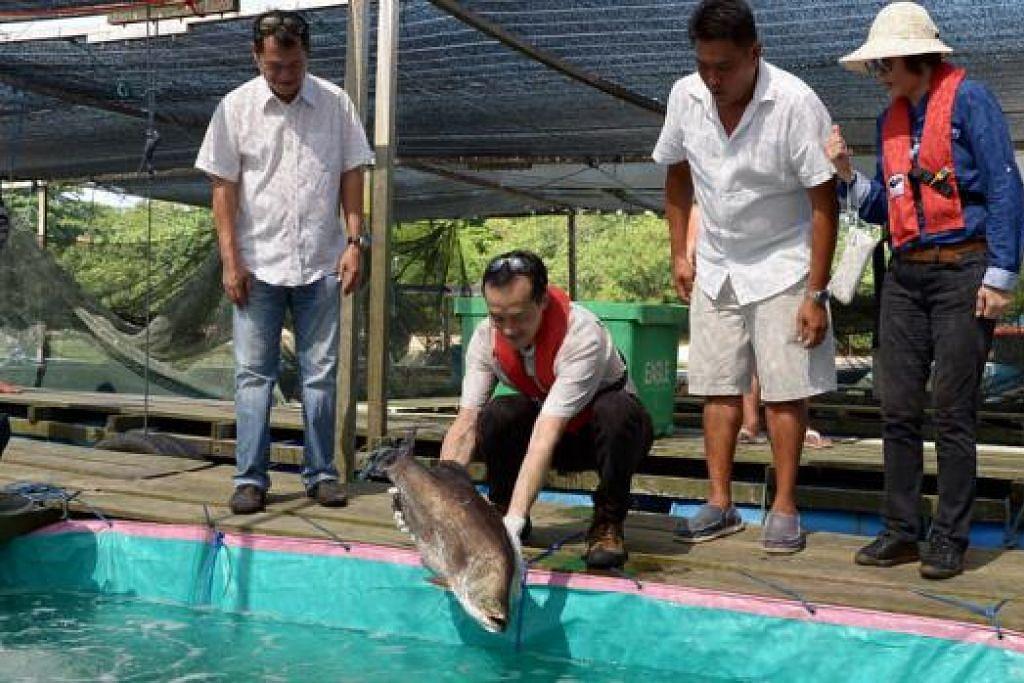 LEPASKAN IKAN: Dr Koh melepaskan ikan ke dalam kolam yang bertutupkan kanvas. Teknik tersebut merupakan sebahagian langkah mengekang pendedahan ikan kepada plankton jika ia berlaku. - Foto TUKIMAN WARJI