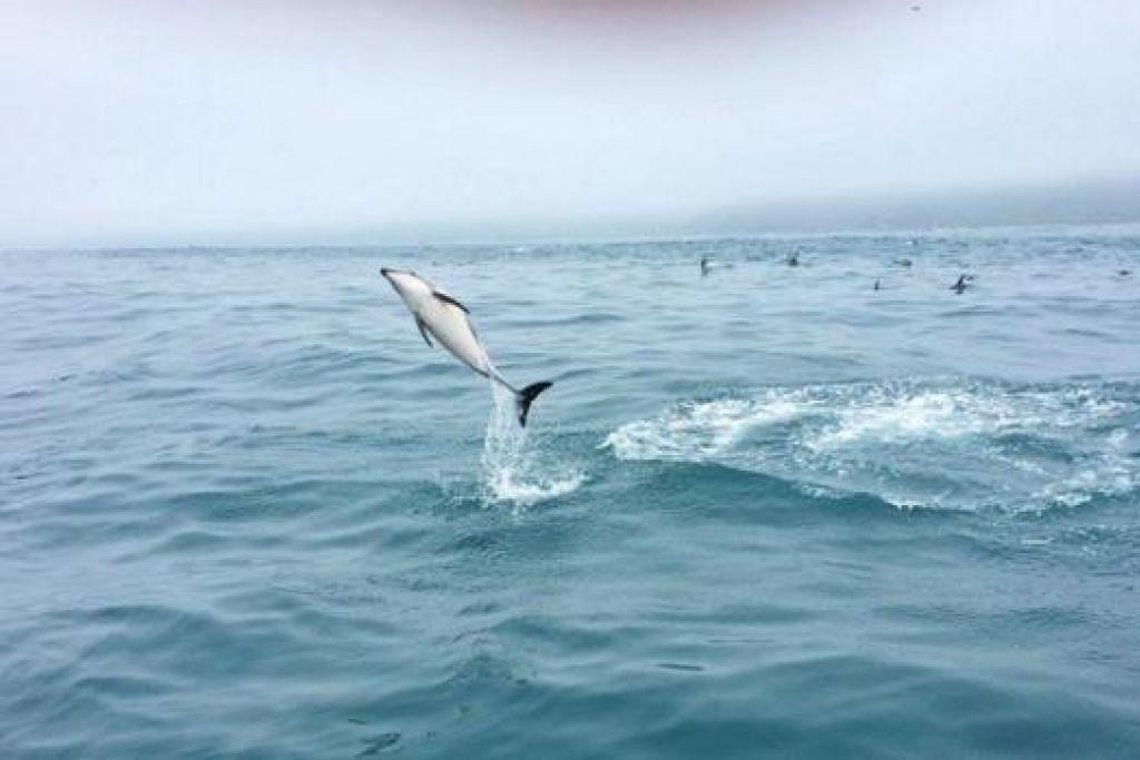 HAIWAN LIAR: Walaupun tidak dapat menyaksikan paus di Kaikoura, penulis dapat melihat aksi lumba-lumba di situ. - Foto LYNA HANIS