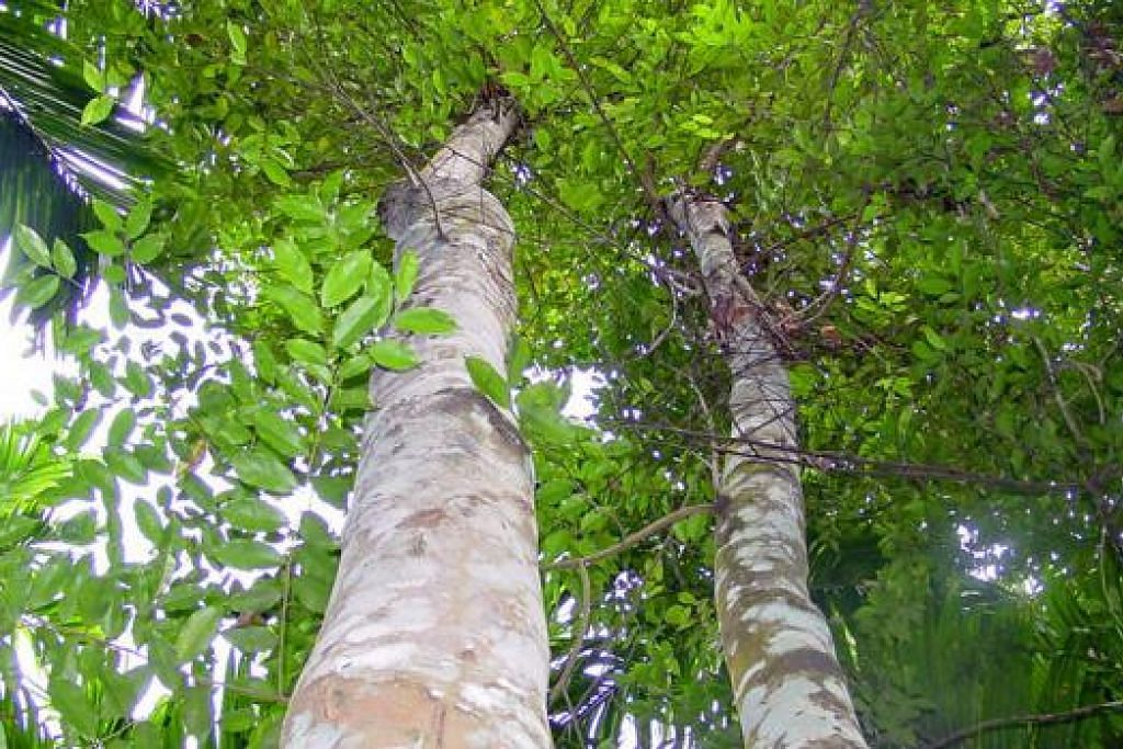 Pokok mengkaras, atau aquilaria.