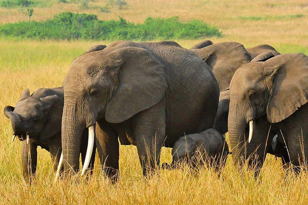 Kirimkan pengalaman melancong anda BERITA MELANCONG Pelancong 'penyelamat' gajah Afrika