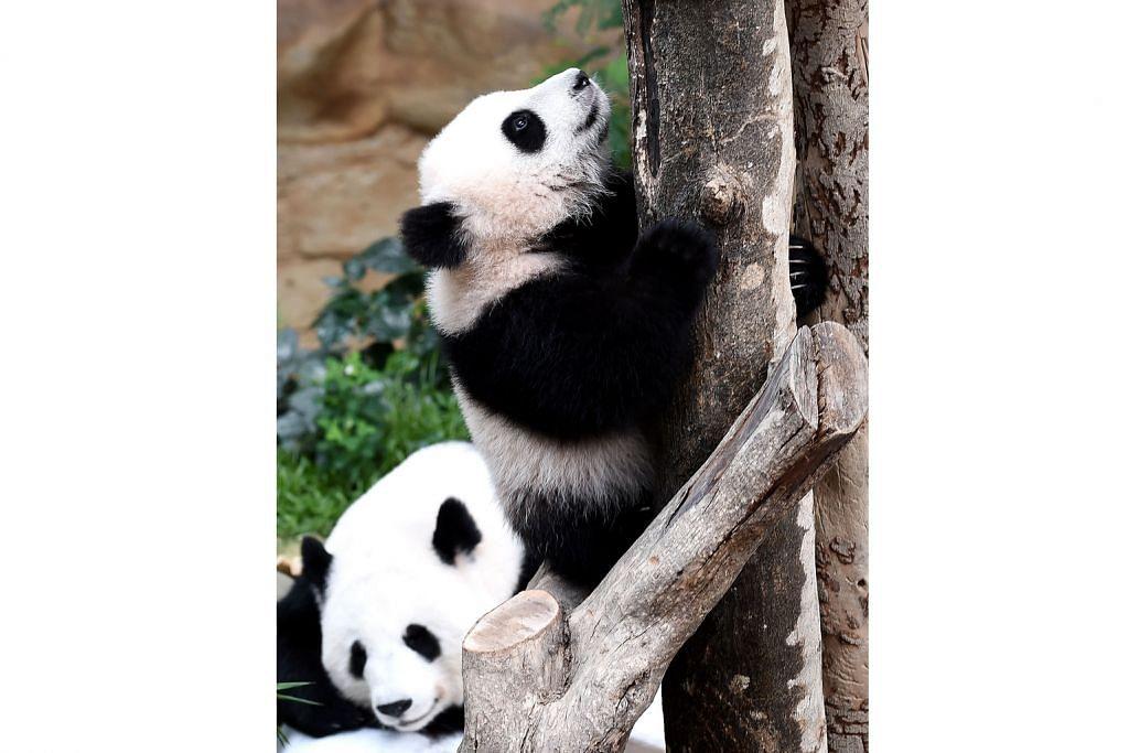 Nuan Nuan si anak panda gergasi di M'sia