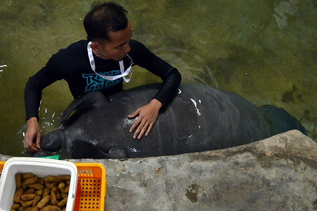 Lembu laut jadi ikon River Safari