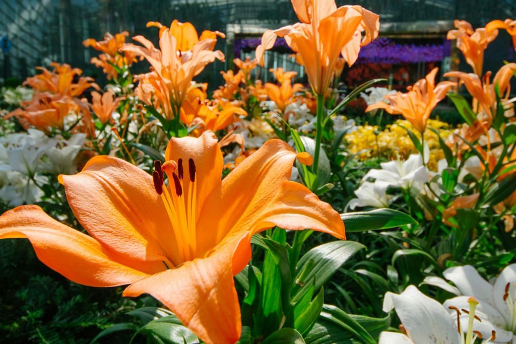 Nikmati harum bunga lili di pameran di Taman Di Pesisiran