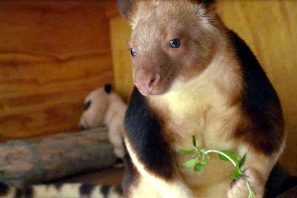 Kanggaru pokok 'ajaib' Australia sedia pindah ke Singapura