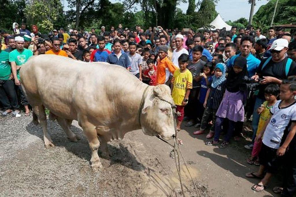 Lembu korban seberat 1 tan jadi perhatian