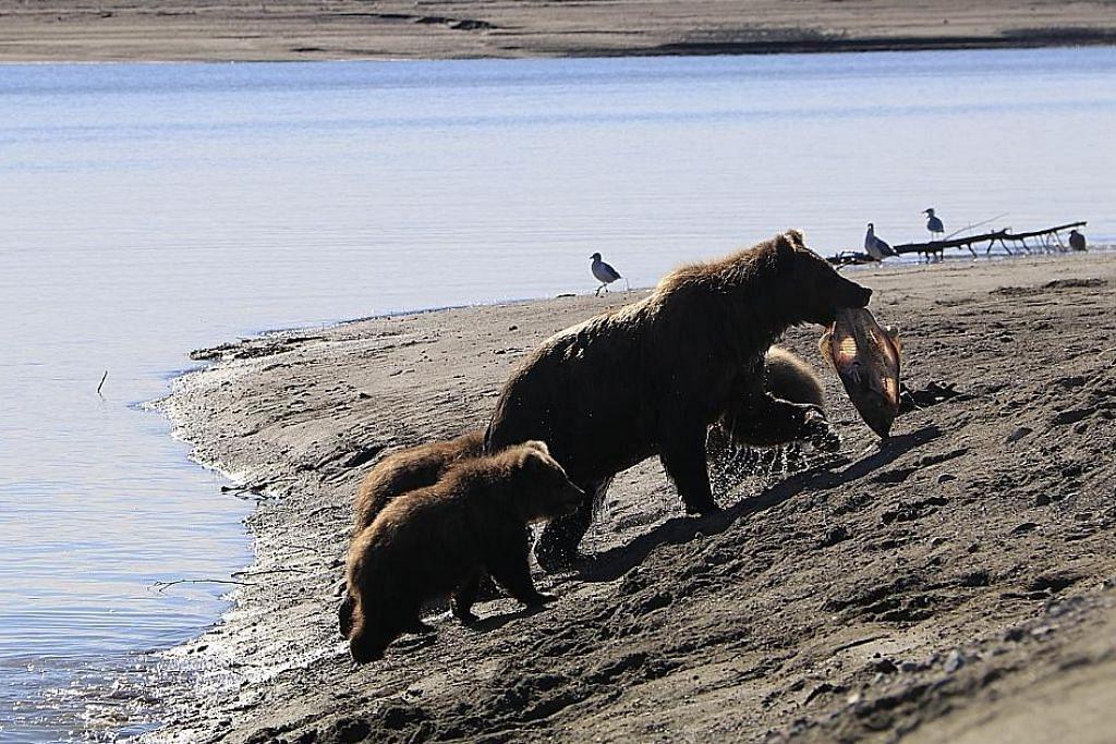 Teruja lihat gelagat beruang liar di Alaska KEMBARA