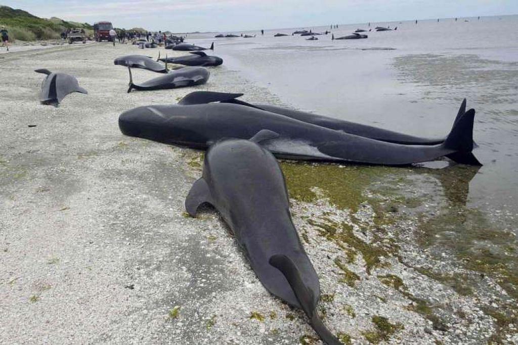 Lebih 400 Ikan paus pandu mendamparkan diri di Farewell Spit di kawasan Golden Bay di bahagian utara Pulau Selatan, New Zealand. Ratusan daripada haiwan itru mati.