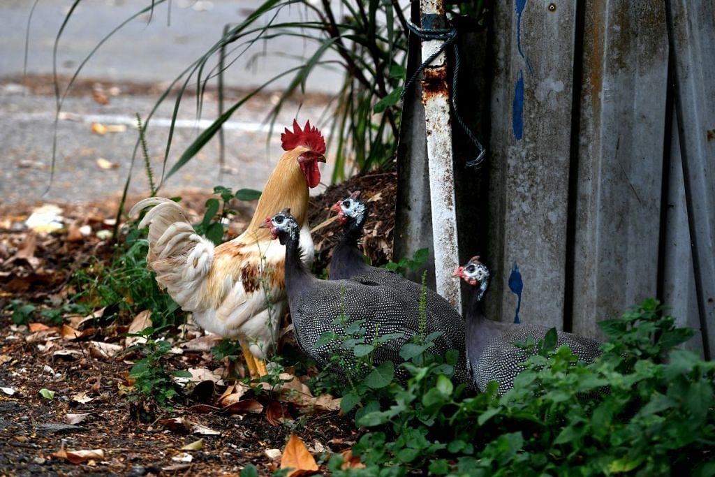AVA mengambil pendekatan serampang berbilang mata bagi mengurus populasi haiwan, seperti ayam liar, dan mengurangkan masalah kesihatan dan keselamatan.