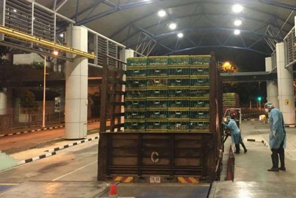 Pegawai AVA menjalankan pemeriksaan ke atas ayam hidup yang dibawa masuk ke Singapura di Pusat Pemeriksaan Tuas.