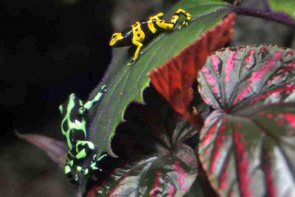 Katak panah beracun dari Amazon di akuarium Sentosa