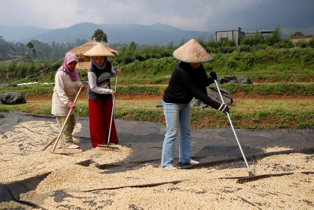 KAEDAH UNIK: Pekerja mengeringkan biji kopi arabica di sebuah kilang kopi di Pangalengan, Jawa Barat. Peladang di negara lain cuba meniru cara di Indonesia tetapi hasilnya tidak sama. - Foto REUTERS