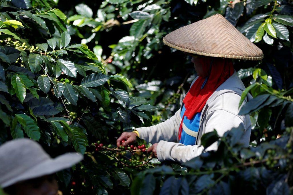 SAINGAN MENINGKAT: Pekerja menuai biji kopi arabica di ladang di Pangalengan, Java Barat. Pemanggang tempatan kini menawarkan peladang harga lebih tinggi bagi biji kopi arabica. - Foto REUTERS