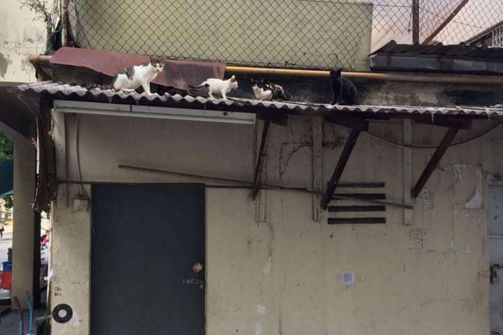TERBIAR: Penyelamat kucing Cik Constance Loh menerima maklumat tentang kucing yang terbiar di atas bumbung sebuah rumah kedai di Flanders Square. - Foto CONSTANCE LOH
