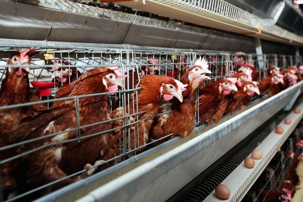 BEKALAN DARI MALAYSIA: Pembekal mengimport ayam daripada ladang-ladang di Malaysia sebelum ia disembelih di sini bagi dijual di restoran, hotel, pasar dan juga pusat penjaja. - Foto fail