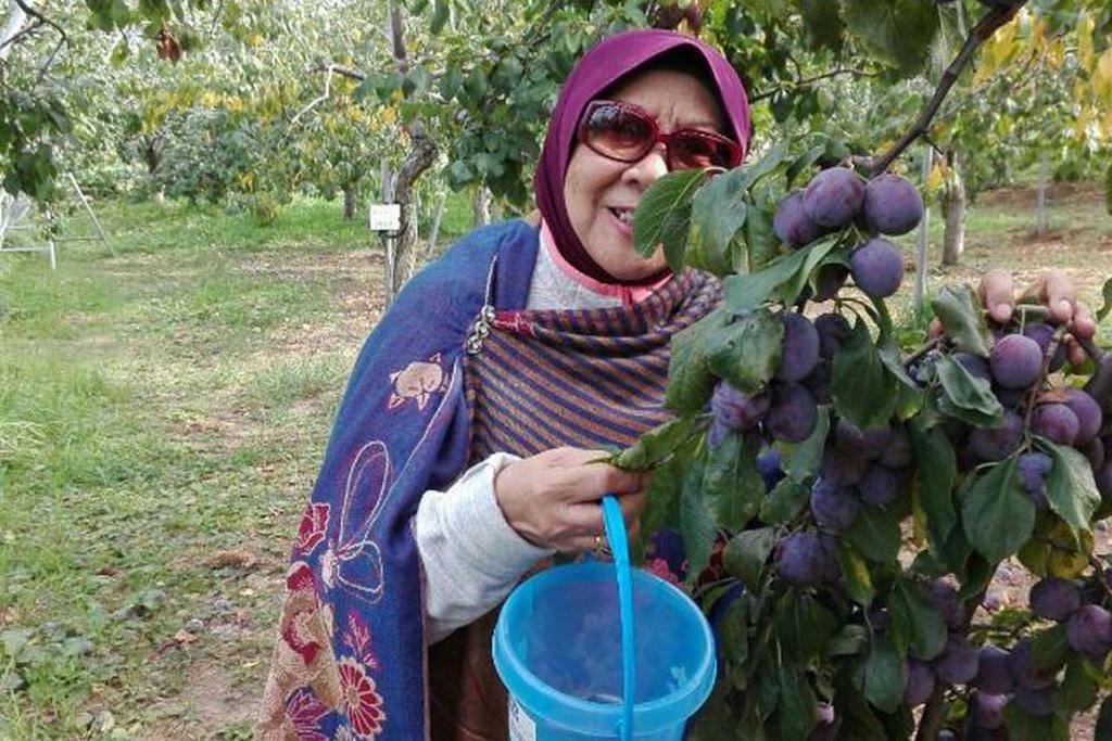 LEBATNYA PRUN: Penulis seronok dapat memetik buah prun di Kebun Buah-Buahan Imai. Selain prun, kebun buah-buahan ini turut mempunyai buah anggur. - Foto RUKUMAH YOSOP